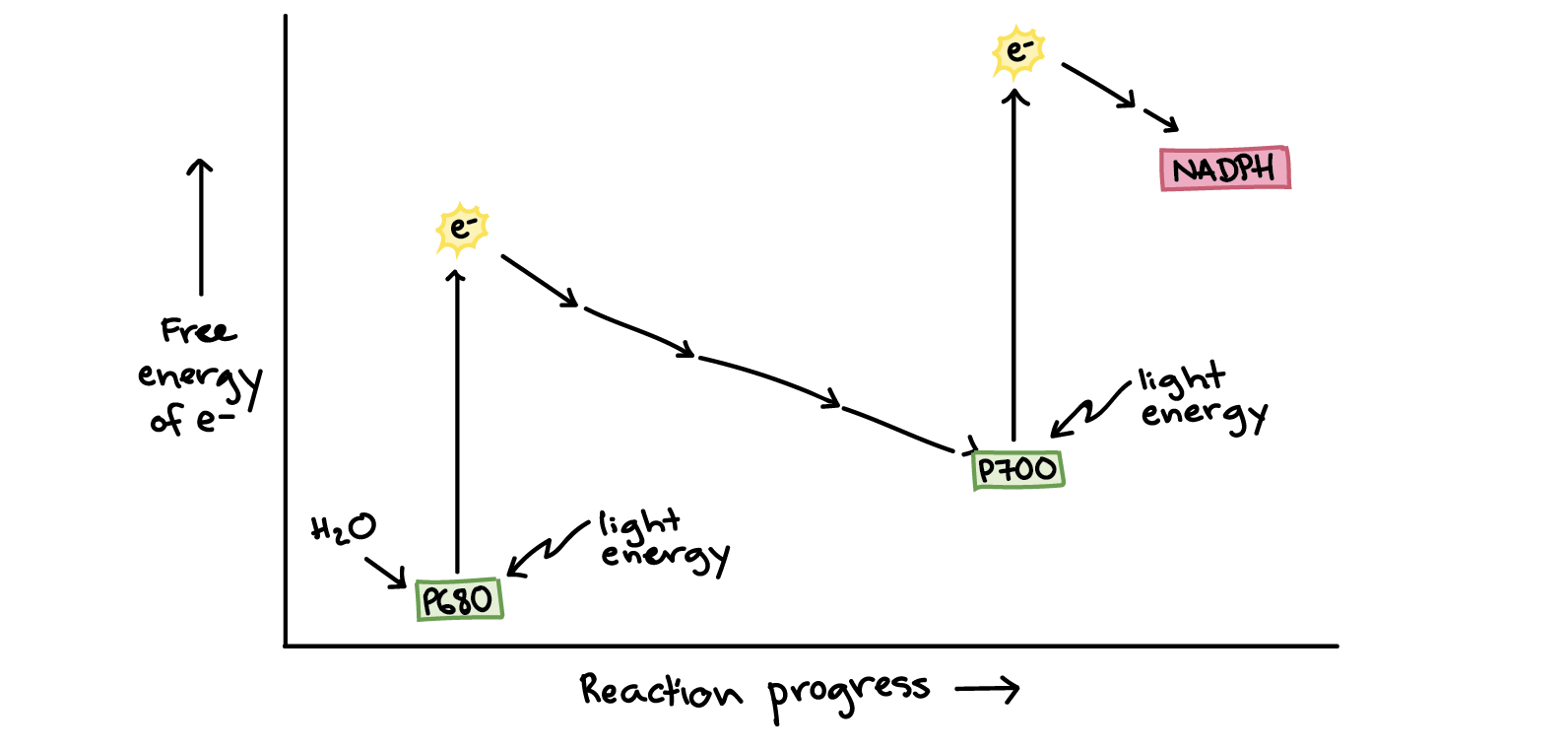 hight resolution of energy diagram of photosynthesis on the y axis is the free energy of electrons