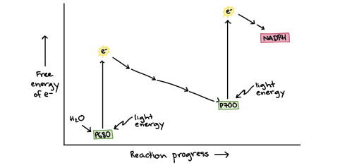 small resolution of energy diagram of photosynthesis on the y axis is the free energy of electrons