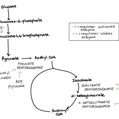 Stages Of Glycolysis And Fermentation Diagram Emg 81 85 Wiring 5 Way Regulation Cellular Respiration Article Khan Academy Summarizing The During Pyruvate Oxidation Citric