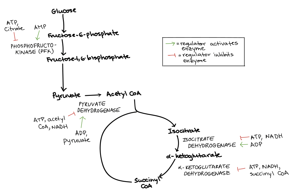 medium resolution of diagram summarizing the regulation of cellular respiration during glycolysis pyruvate oxidation and the citric