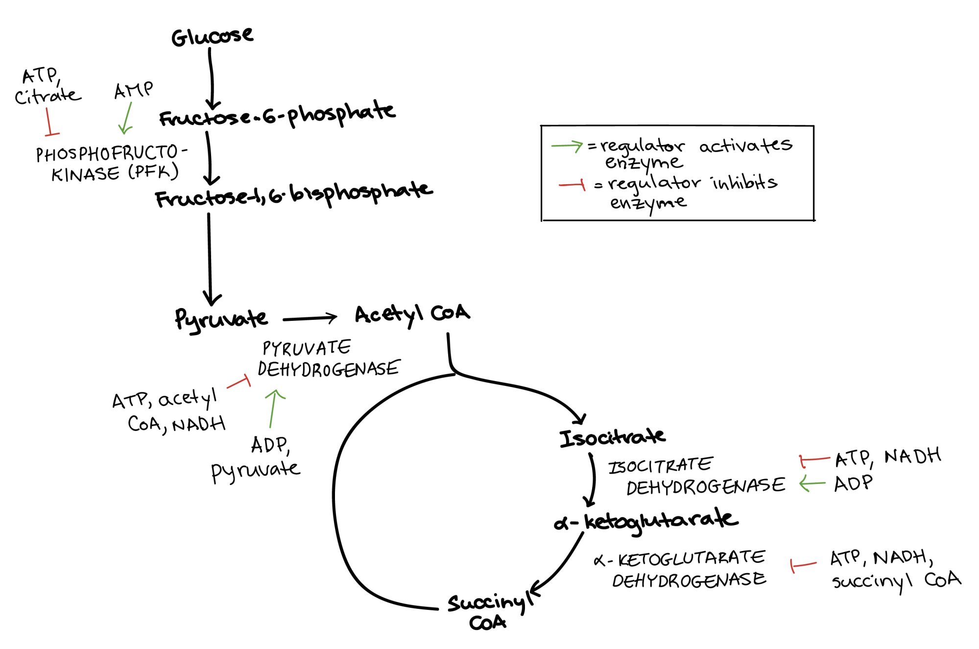 hight resolution of diagram summarizing the regulation of cellular respiration during glycolysis pyruvate oxidation and the citric