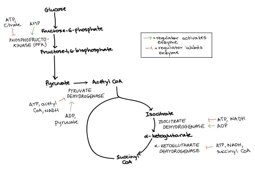 small resolution of diagram summarizing the regulation of cellular respiration during glycolysis pyruvate oxidation and the citric
