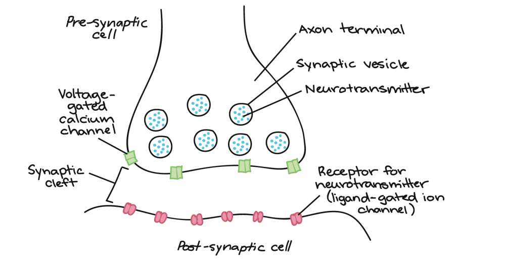 medium resolution of image showing pre synaptic cell s axon terminal containing synaptic vesicles with neurotransmitters voltage