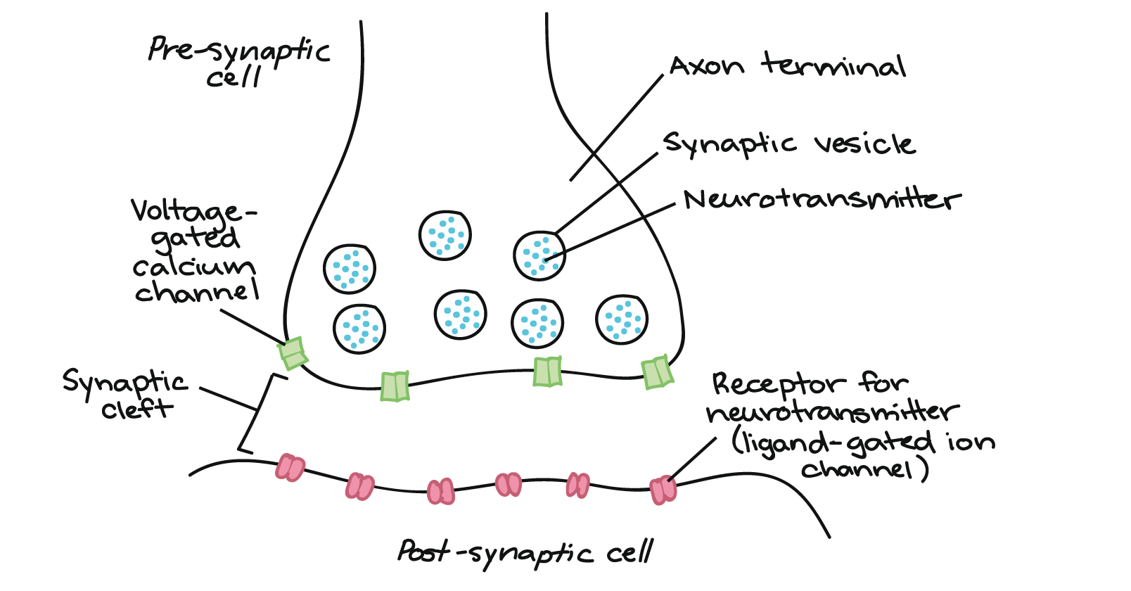 hight resolution of image showing pre synaptic cell s axon terminal containing synaptic vesicles with neurotransmitters voltage
