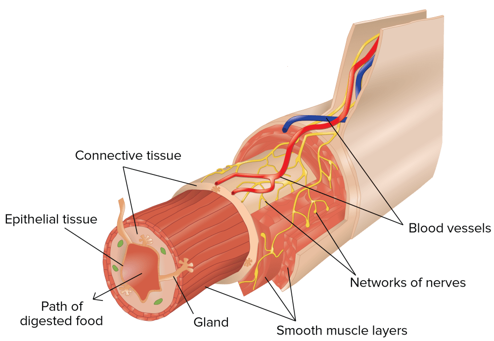 medium resolution of cross section of the gi tract from outside to inside blood vessels