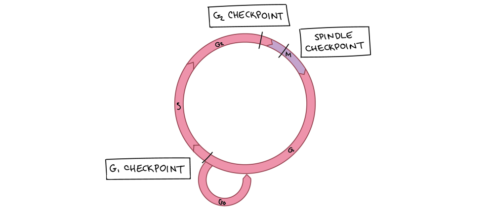 medium resolution of diagram of cell cycle with checkpoints marked g1 checkpoint is near the end of g1