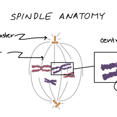 Stages Of Mitosis Diagram Labeled 2001 Vw Cabrio Fuse Phases Biology Article Khan Academy Anatomy The Mitotic Spindle Indicating Kinetochore Microtubules Bound To Kinetochores And