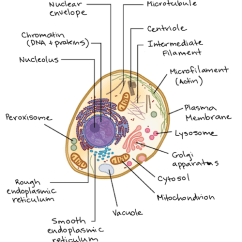 How To Draw A Cell Diagram 1980 Cb750 Wiring Plant Vs Animal Cells Review Article Khan Academy Of An With Components Lettered