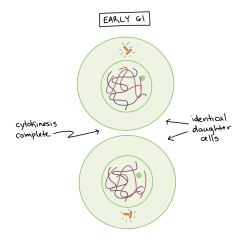 Stages Of Mitosis Diagram Labeled Dometic Rm2193 Wiring Phases Biology Article Khan Academy