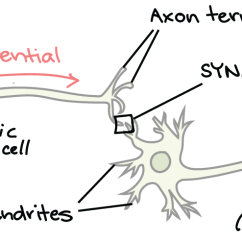 Synapse Diagram Label 1998 Ford F150 Alternator Wiring The Article Human Biology Khan Academy
