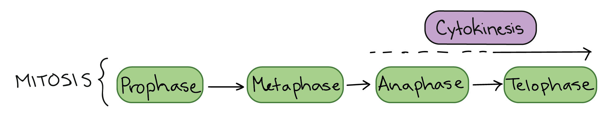 stages of mitosis diagram labeled 04 ford expedition stereo wiring phases biology article khan academy