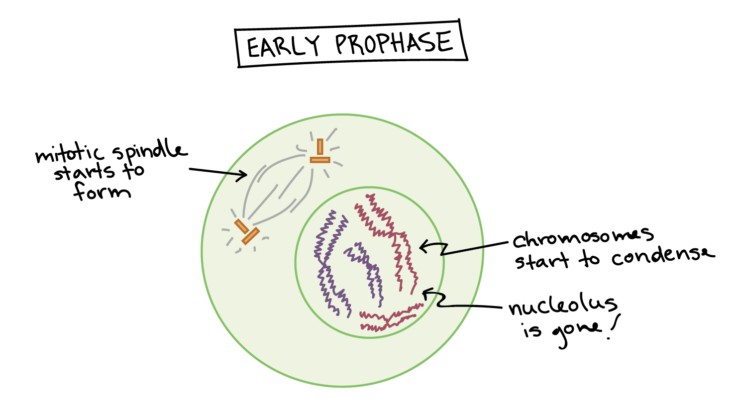 stages of mitosis diagram labeled 1998 dodge dakota headlight wiring phases biology article khan academy the mitotic spindle starts to form chromosomes start condense