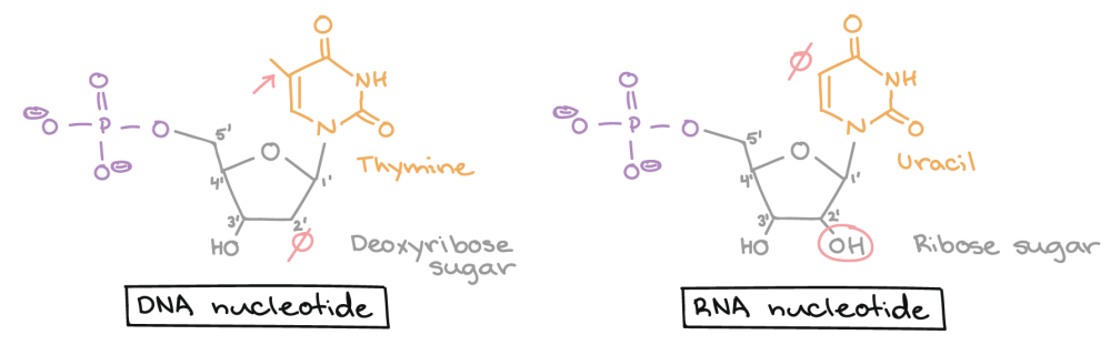 medium resolution of dna nucleotide lacks a hydroxyl group on the 2 carbon of the sugar