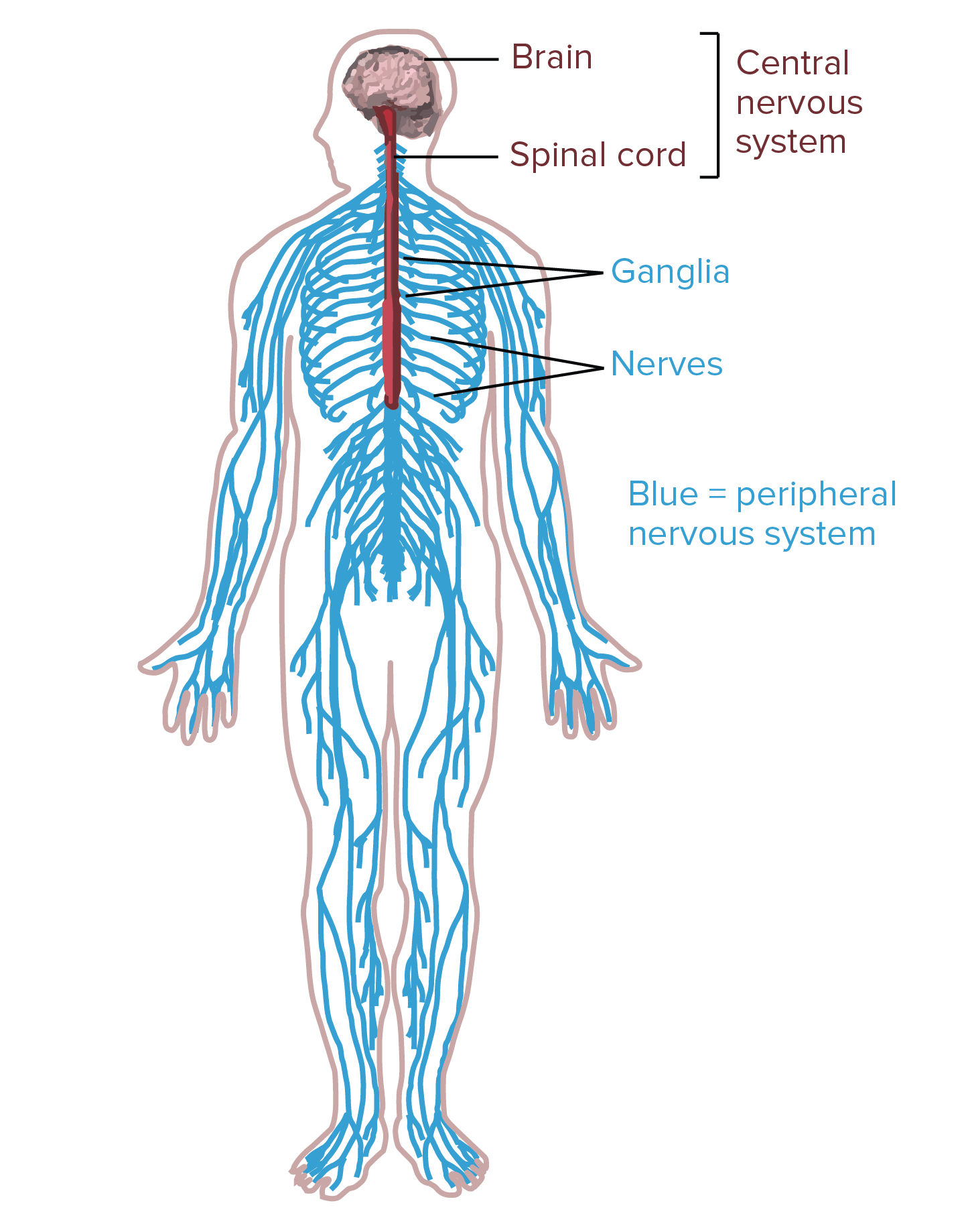 hight resolution of diagram of the human nervous system central nervous system portions of the nervous system