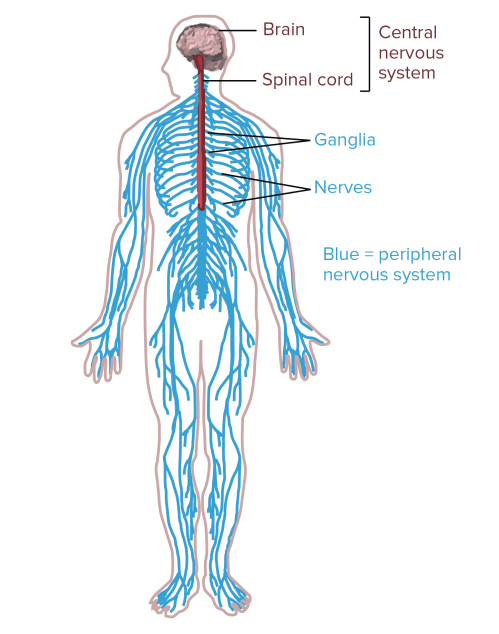 small resolution of diagram of the human nervous system central nervous system portions of the nervous system
