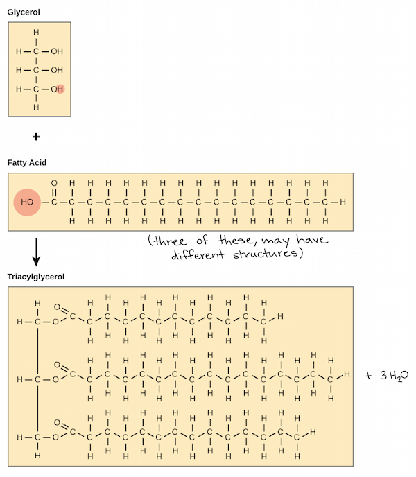 fat structure diagram 99 ford f250 fuse box lipids article macromolecules khan academy synthesis of a tryacylglycerol molecule from glycerol backbone and three fatty acid chains with