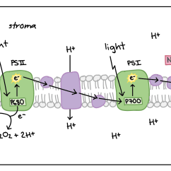 Electron Transport Chain Diagram For Dummies 2008 F250 Trailer Wiring Light Dependent Reactions Photosynthesis Reaction Article Khan Of Non Cyclic Photophosphorylation The Photosystems And Components Are Embedded