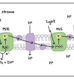 diagram of non cyclic photophosphorylation the photosystems and electron transport chain components are embedded [ 2156 x 862 Pixel ]