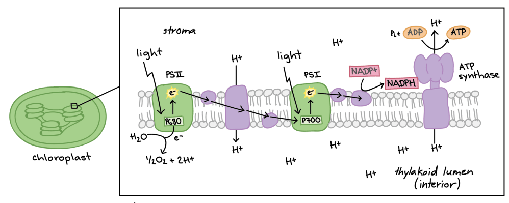 medium resolution of diagram of non cyclic photophosphorylation the photosystems and electron transport chain components are embedded