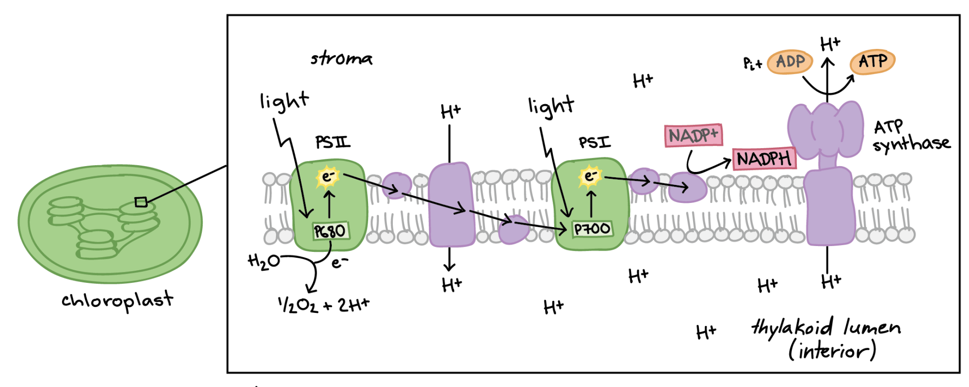 hight resolution of diagram of non cyclic photophosphorylation the photosystems and electron transport chain components are embedded