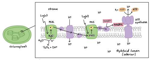 small resolution of diagram of non cyclic photophosphorylation the photosystems and electron transport chain components are embedded