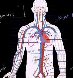 circulation diagram of organ and body [ 1280 x 720 Pixel ]