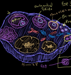 ovary reproductive system diagram labeled [ 1280 x 720 Pixel ]