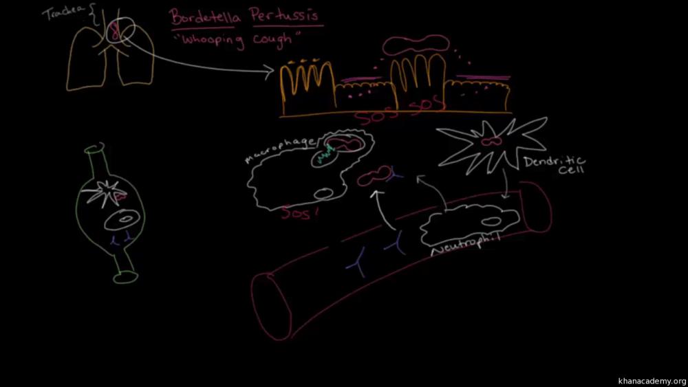 medium resolution of pertussi cell diagram
