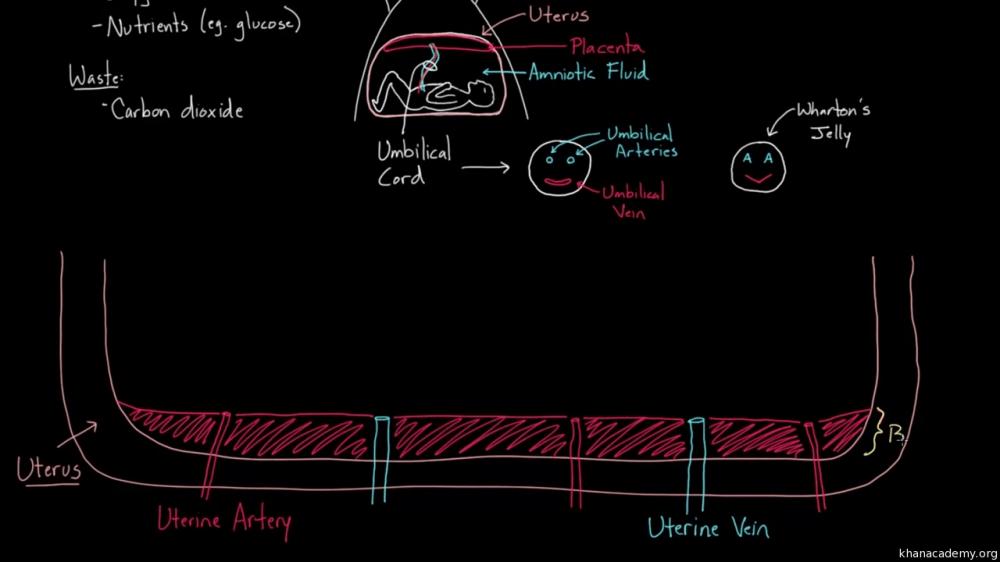 medium resolution of blood flow diagram of uteru