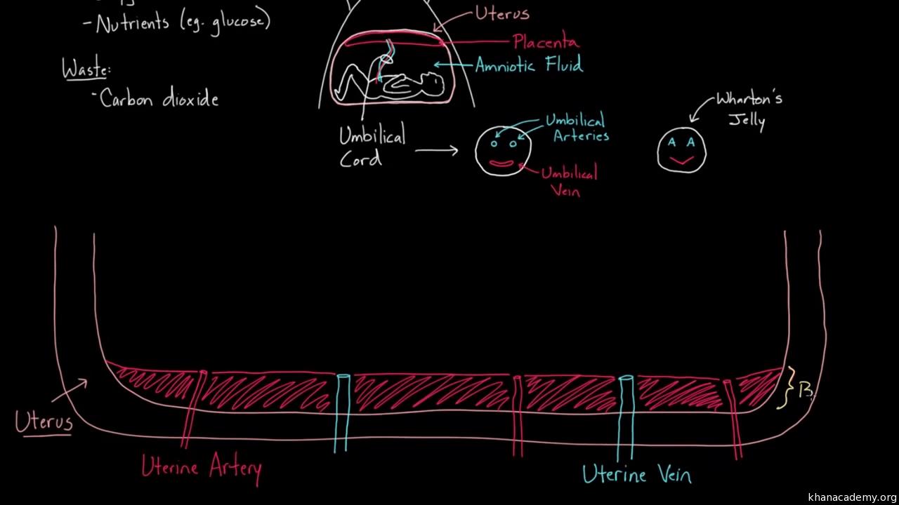 hight resolution of blood flow diagram of uteru