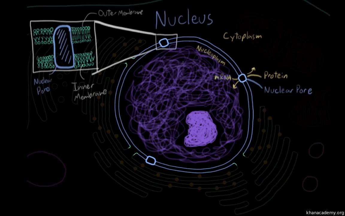 hight resolution of nucleu diagram