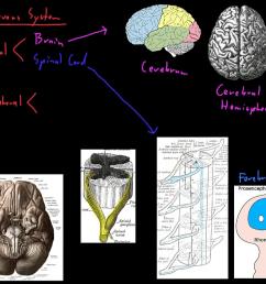 nervou system diagram for 4th grade [ 1280 x 720 Pixel ]
