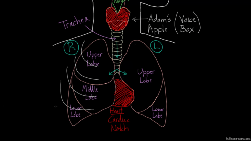 small resolution of diagram of the lung labelled