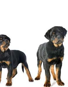 Dogs come in many breeds  wide range of different groups according to the american kennel club those are toy herding hound sporting also use puppy growth chart determine size care rh