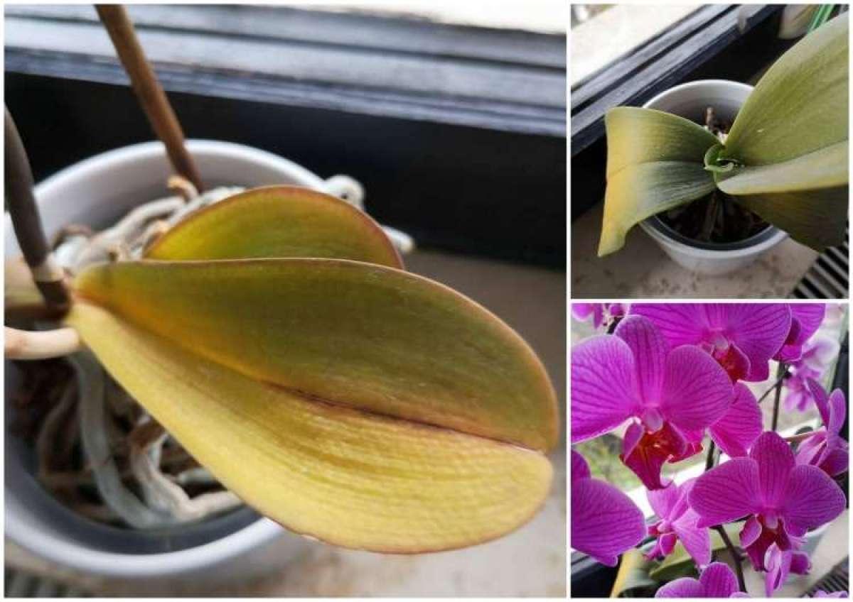 Zakaj orhidejam rumenijo listi?