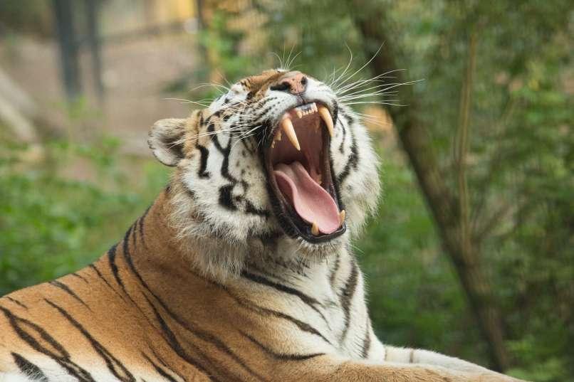 sibirski-tiger-vito