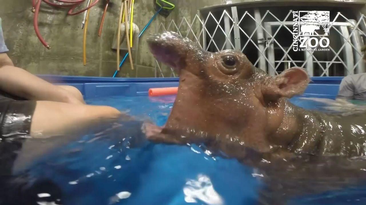 Attaque dun bb hippopotame