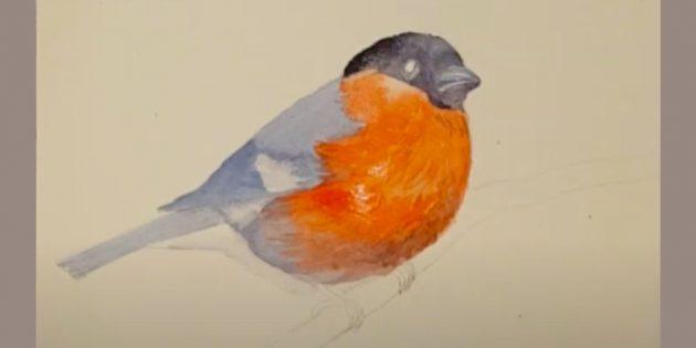 Hvordan tegne Bullfinch: Farg din rygg og hale