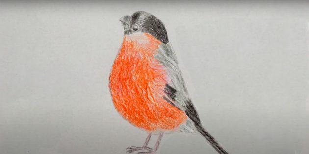 Hvordan tegne en realistisk bullfinch med fargede blyanter