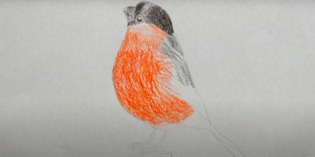 كيفية رسم Bullfinch: إضافة الذيل والساقين