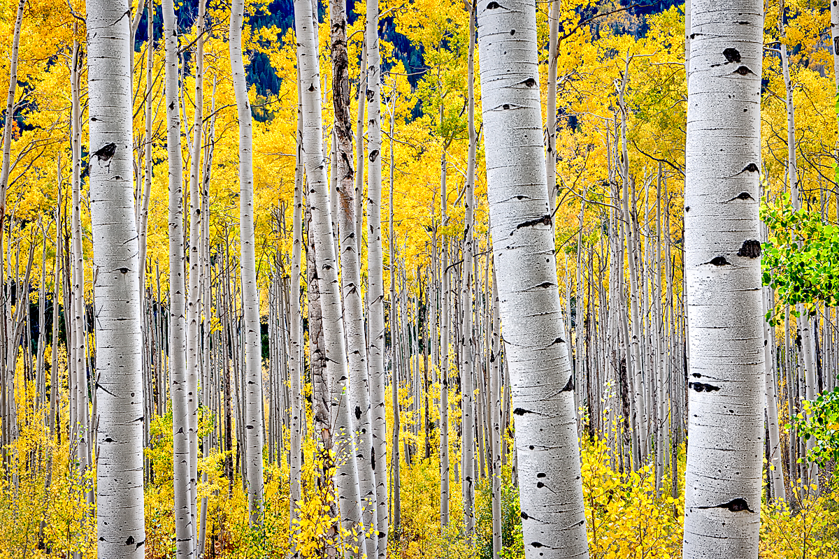 Birch Tree Fall Wallpaper Close Up Aspen Trees In Fall Colour Color Trees Beautiful