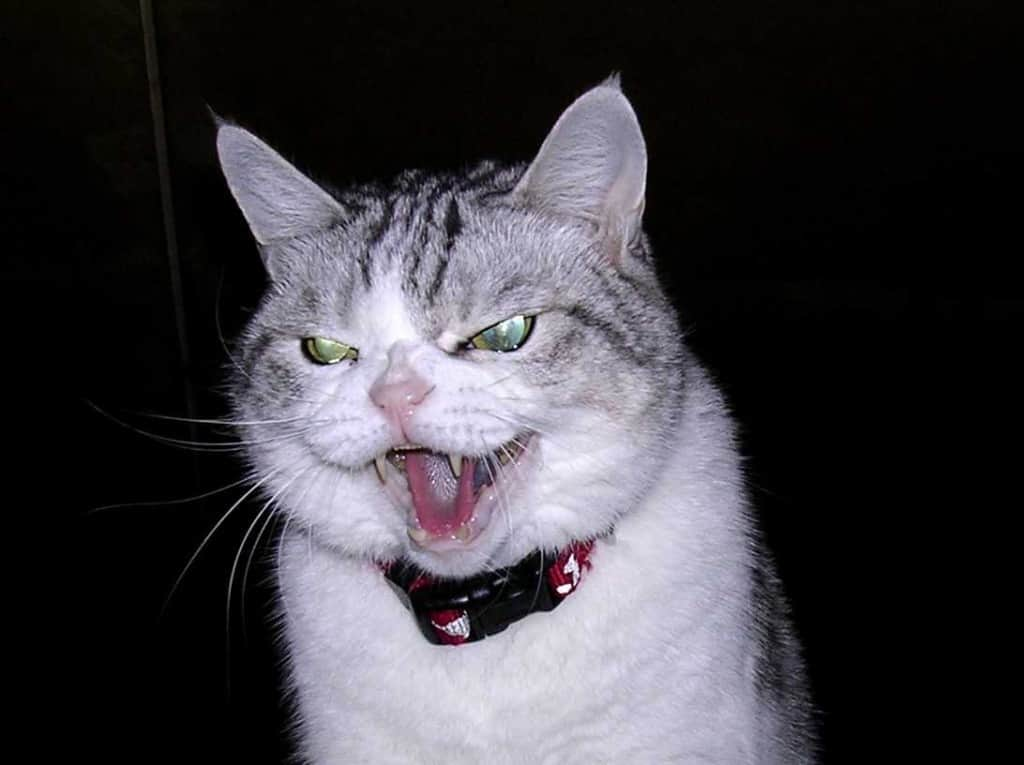 20 Of The Most Evil Cats You Ll Ever See