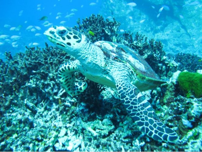 Sea turtles can be spotted around the Gili Islands