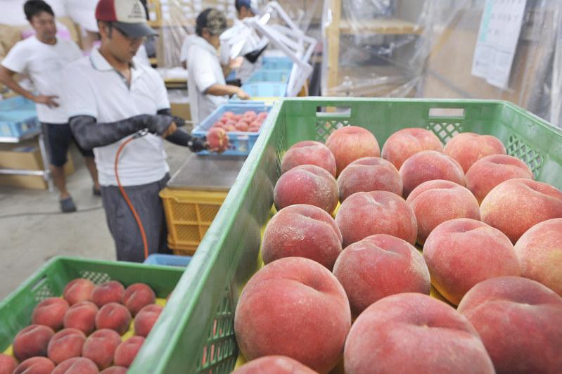 桃:食感とろっ 台湾へ輸出 山形・東根で選果作業始まる - 毎日新聞