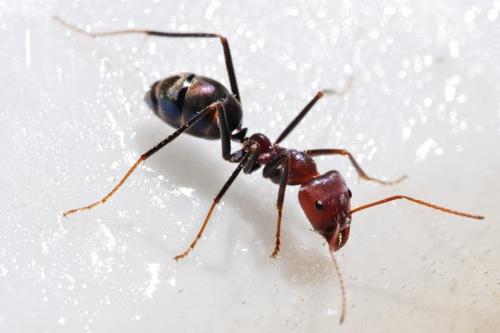 800Px-Meat Eater Ant Feeding On Honey02