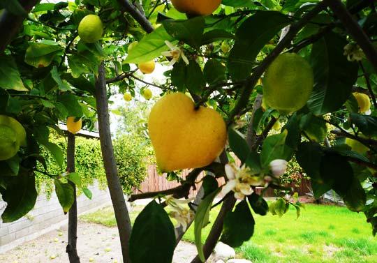 040808 Lemon1