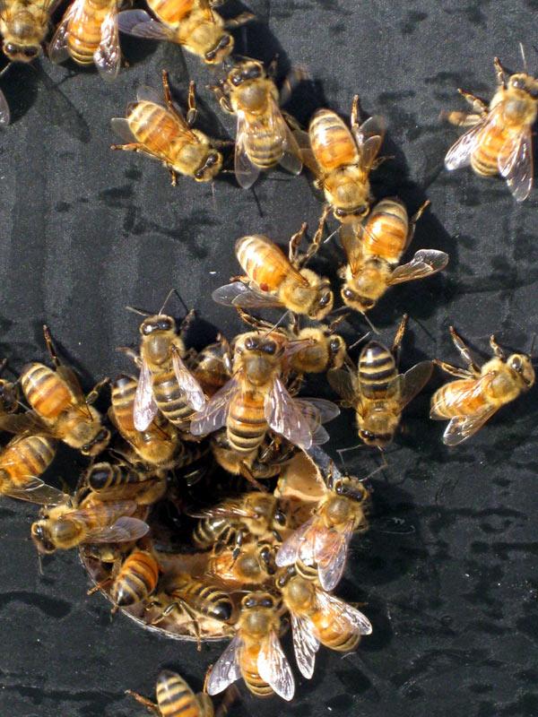 bees_20081118.jpg