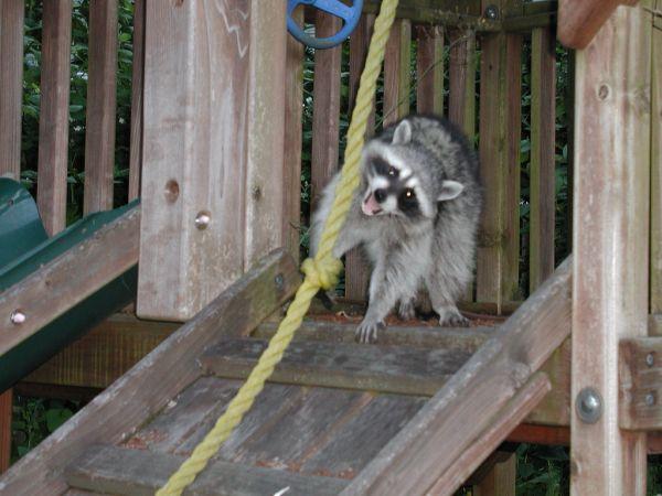 real raccoon.jpg