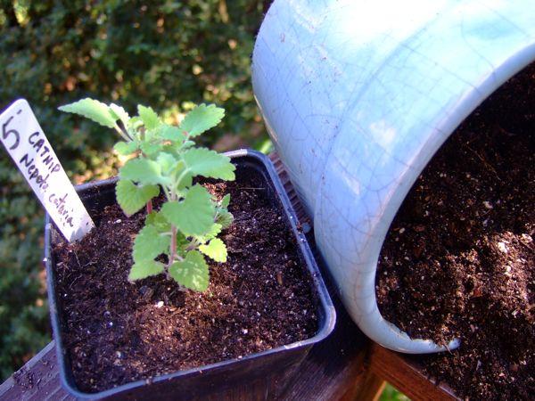 catnip_plantingseedling.jpg