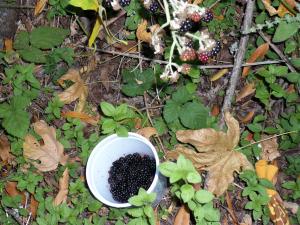 blackberriessuccessfullypicked.jpg